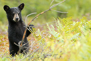 Algonquin's Black Bears and their Cubs