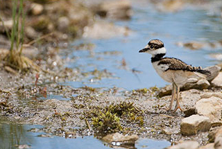 The Fluffy Killdeer Chick
