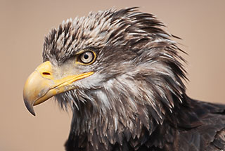 Bald Eagle's Nictitating Membrane