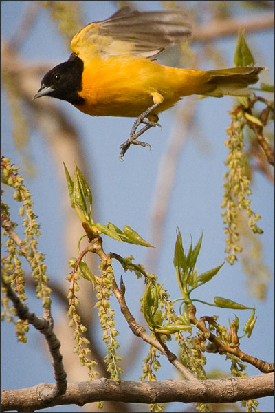 The Male Baltimore Oriole - Point Pelee