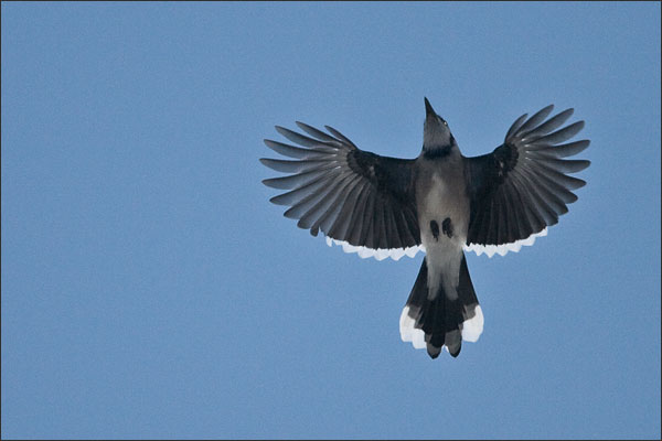 Blue Jay in Fall Migration