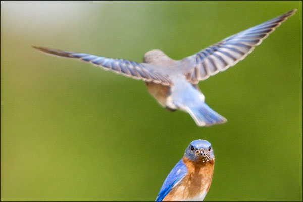Eastern Bluebird Female Hovering Above The Male