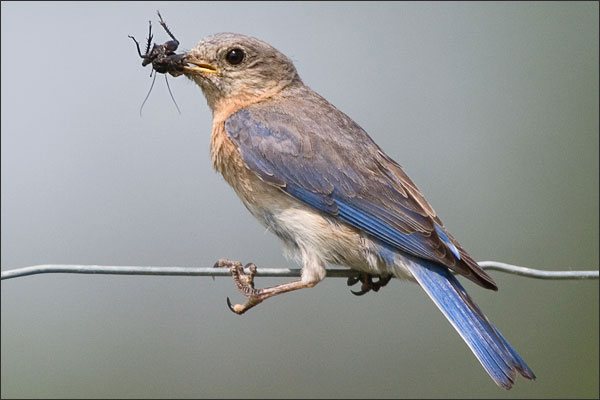 Eastern Bluebird Female With Insect