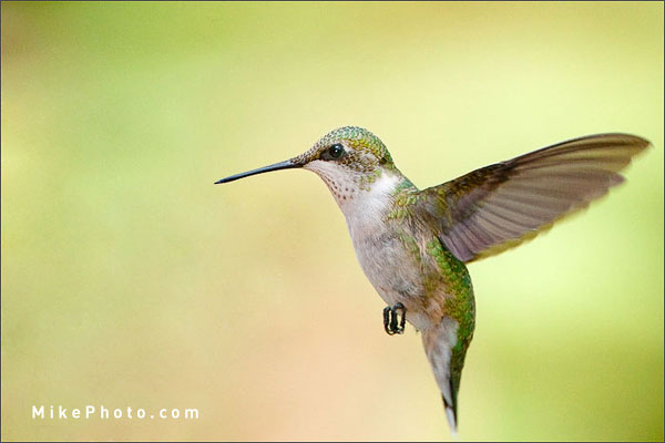 Ruby-Throated Hummingbird at Holiday Beach, Ontario, Canada