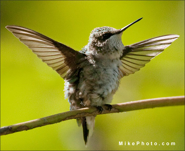 Wing span of the Ruby-Throated Hummingbird