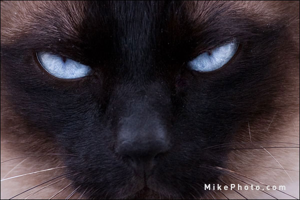 Siamese Eye Color - Blue