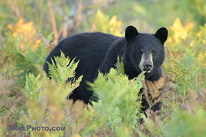 Black bear in Algonquin Provincial Park walking by a few meters in front of my camera.