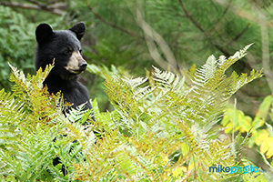 A black bear cub standing up to look after its mom in Algonquin Provincial Park.
