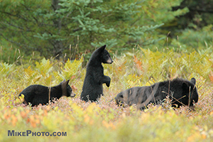 A female black bear with 2 cubs eating blueberries in Algonquin Provincial Park.