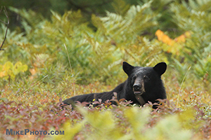 A female black bear resting in the wild blueberries field in Algonquin Provincial Park.