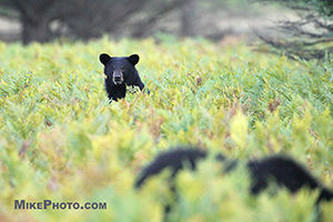 Black bear females resting in a wild blueberry field in Algonquin Provincial Park.