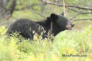 A female black bear in Algonquin Provincial Park looking forward after cubs.