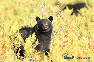 A tagged female black bear smelling the air towards the photographer in Algonquin Provincial Park.