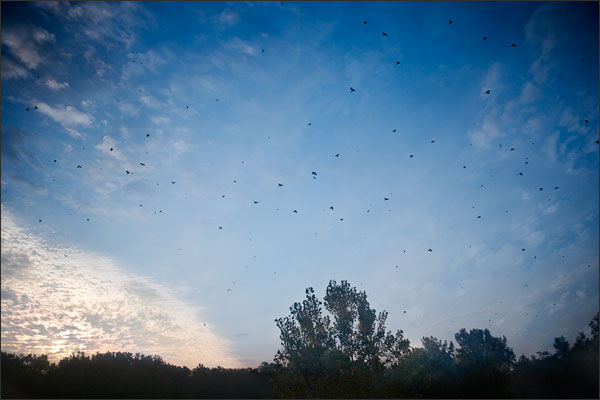 Blue Jays in Fall Migration