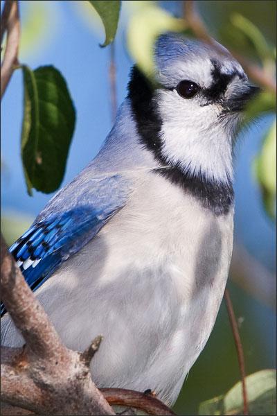 Blue Jay Hiding From Sharp-Shinned Hawk