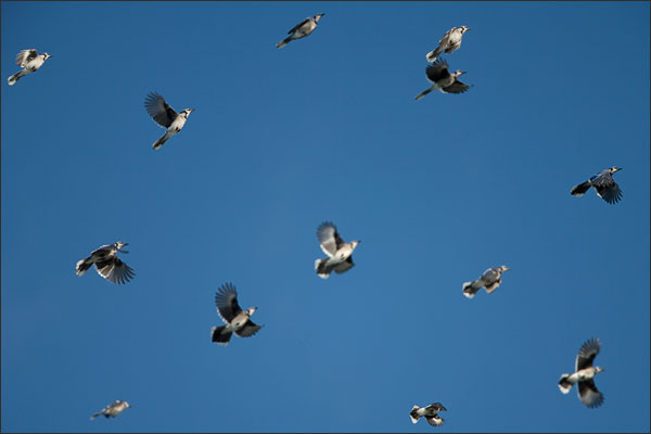 Blue Jays Flock in Fall Migration