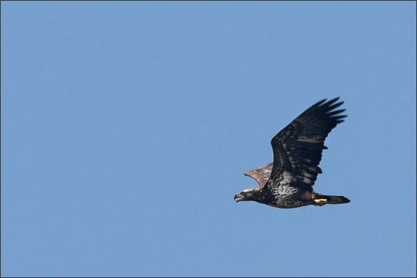 Golden Eagle In Fall Migration