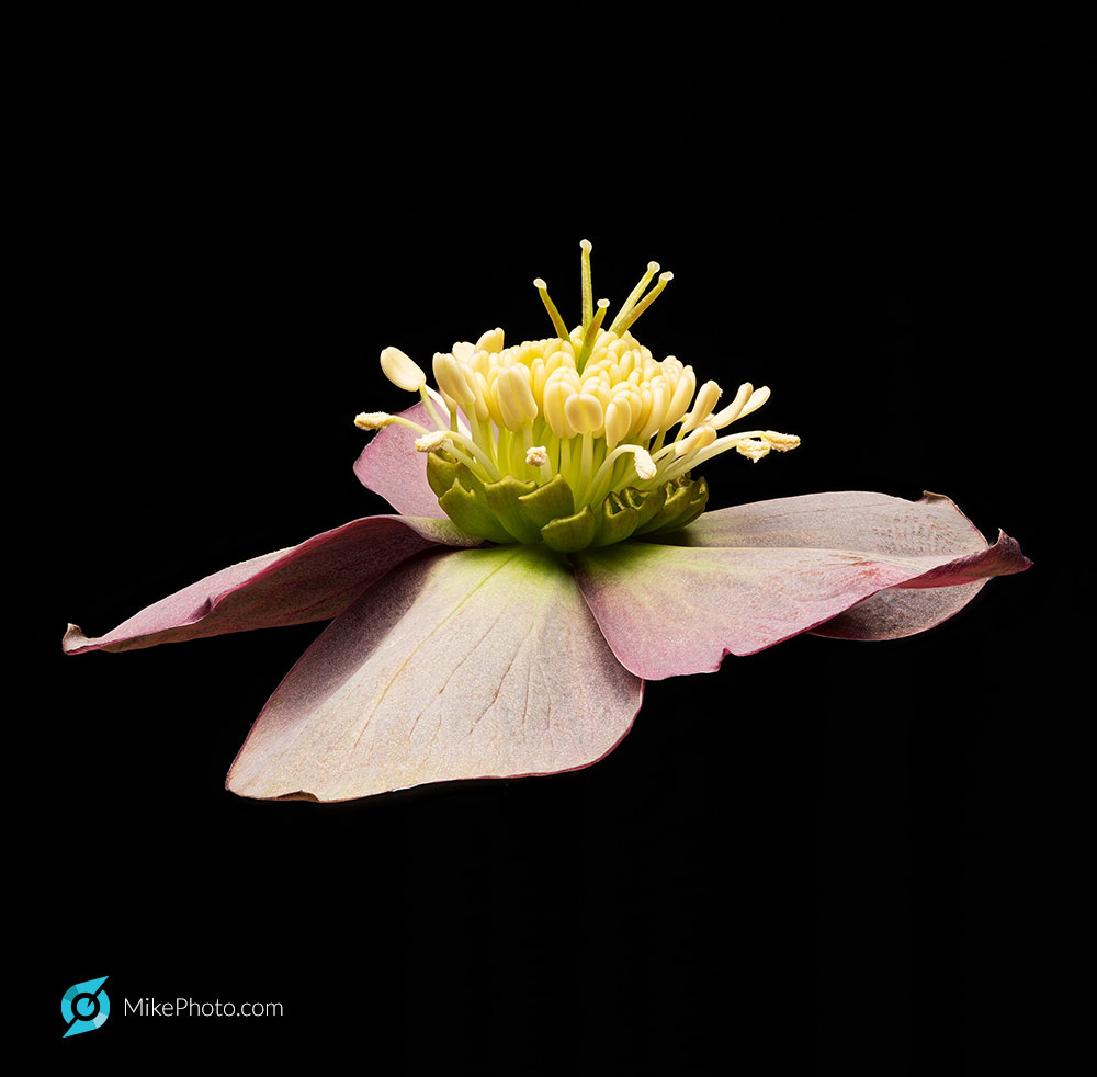 Hellebores, commonly called Lenten rose
