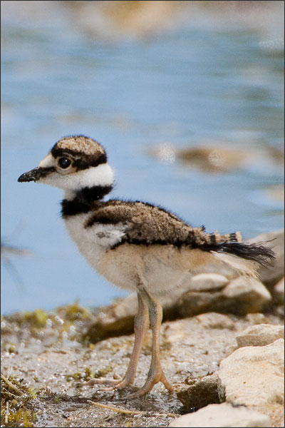 Killdeer Baby Bird Portrait
