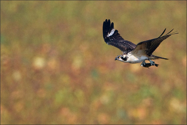 Osprey with Fish during fall migration