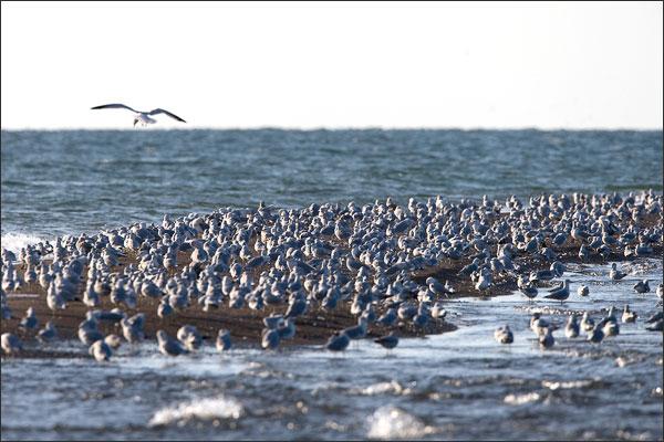 Point Pelee Tip - Gulls Community