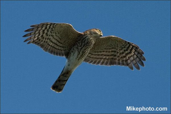 Sharp-Shinned Hawk - Blue Jay's Archenemy